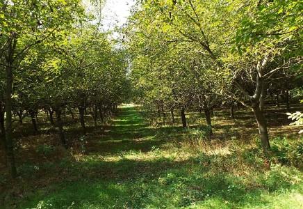 Image for Nagyvenyim - eladó - diófa ültetvény - [MG20101917]